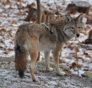 2.BEST-BEACH-COYWOLF-610x585